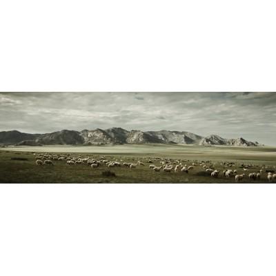 MONGOLIE - Moutons sur la...