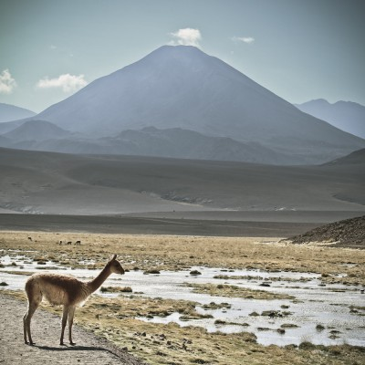 CHILI - Vigogne et volcan...