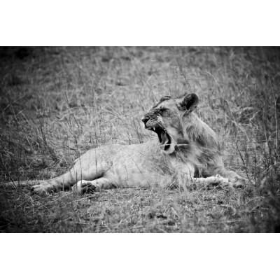 KENYA - Jeune lion - 11