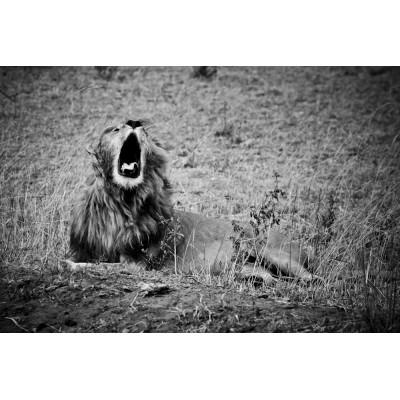KENYA - Lion - 12