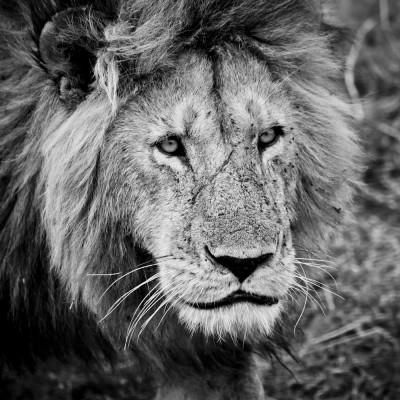 KENYA - Lion - 13