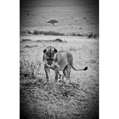 KENYA - Lionne - 14