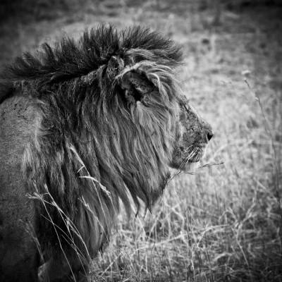 KENYA - Lion de profil - 16