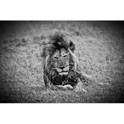 KENYA - Lion - 15