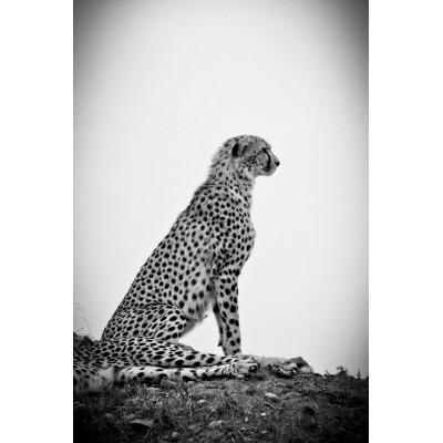 KENYA - Guépard - 19