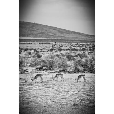 KENYA - 3 Gazelles Impala - 21