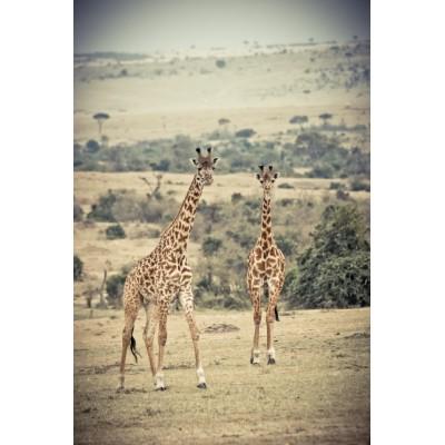 KENYA - 2 Girafes Masaï - 24