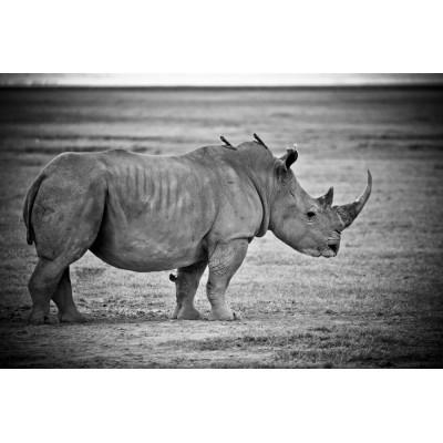 KENYA - Rhinocéros - 26