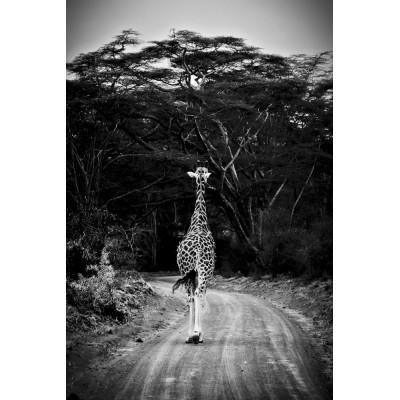 KENYA - Girafe - 29