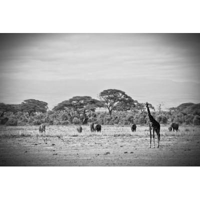 KENYA - Éléphants et girafe...